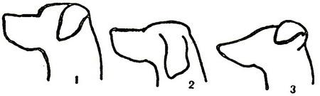 Переход от лба к морде (перелом) собаки