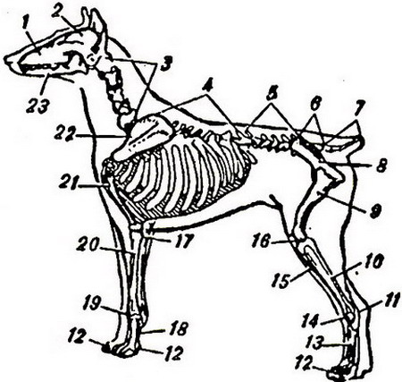 скелетная система собаки