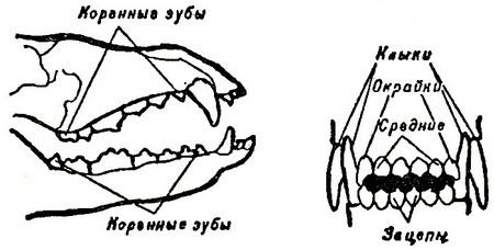 Наименование зубов собаки