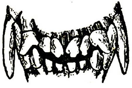 Зубы собаки в возрасте от двух с половиной до трех лет