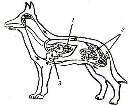 Схема кровеносной системы собаки