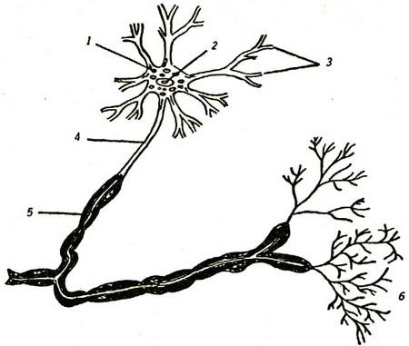 1 — тело нервной клетки;