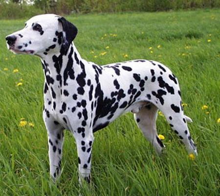 Далматинская собака далматин